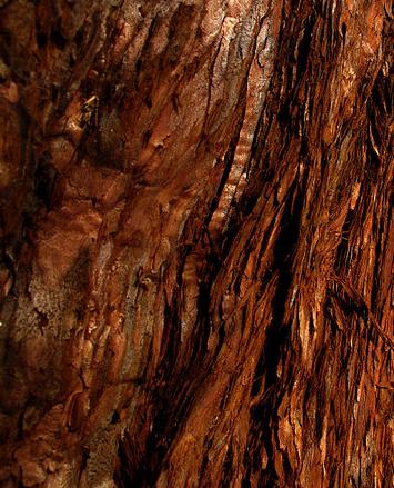 Sequoiadendron giganteum bark